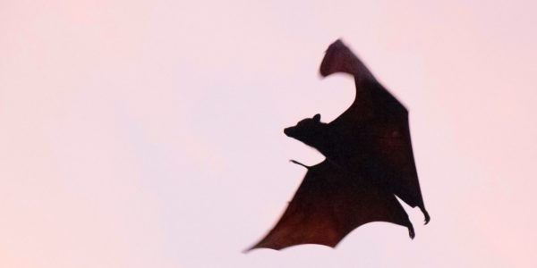 Bats, the UK Law, and You!